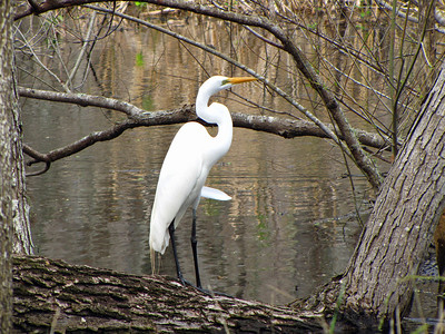 Great Egret, Brazos Bend State Park, Texas (2)