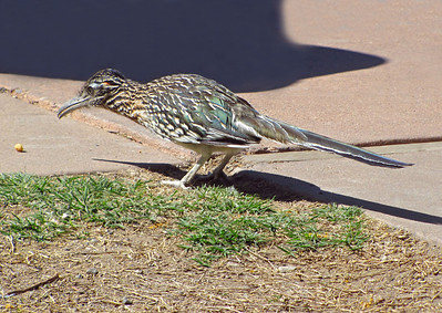 Greater Road Runner, Big Bend National Park, Texas (2)