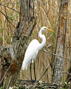 Great Egret, Brazos Bend State Park, Texas (1)