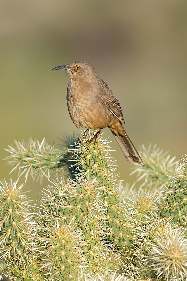 Curve-billed Thrasher, Toxostoma curvirostre