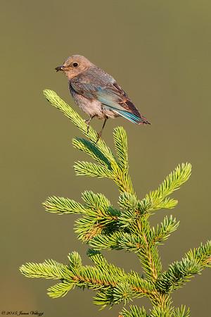 Mountain Bluebird ,Sialia currucoides