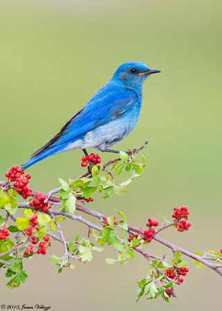Mountain Bluebird, Sialia currucoides