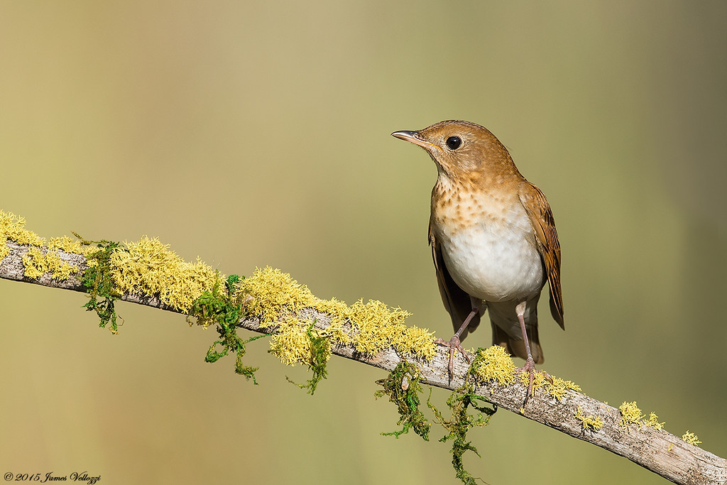 Veery, Catharus fuscescens