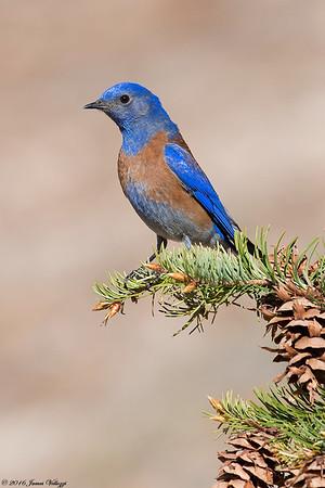 Western Bluebird, Sialia mexicana