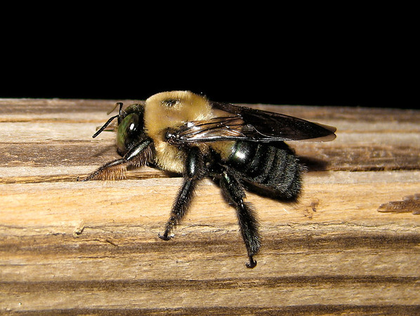Wood bee resting on a deck-railing. These bees tend to hover protectively around their nests. They aren't as aggressive as other bees unless provoked. The best time to photograph them is at night or when it's colder and they are less active.