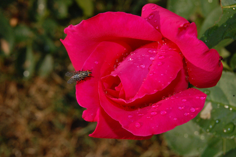 Raindrops and fly on rose