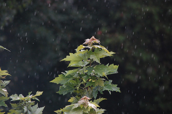 Raining on the maple tree