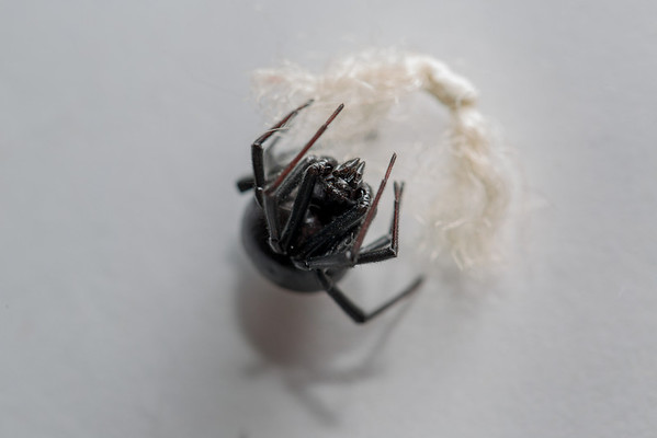 She kept looking for shelter. A carpet fiber was similar to a web and she seemed to enjoy it, allowing me to get a macro of her many eyes.