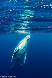 Jvenile Whale