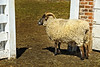 Sheep at Mount Vernon VA