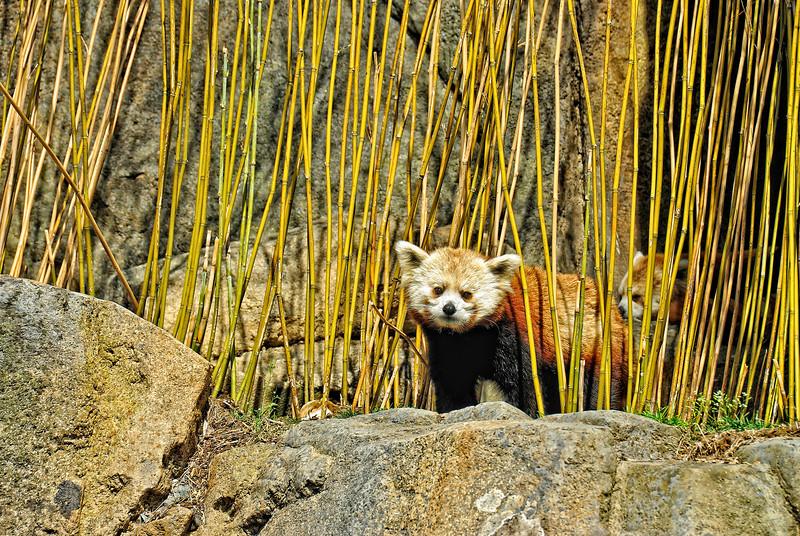 Red Panda at National Zoo