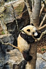 Panda Bear at National Zoo
