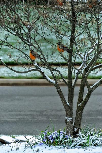 Robins after an April Snow