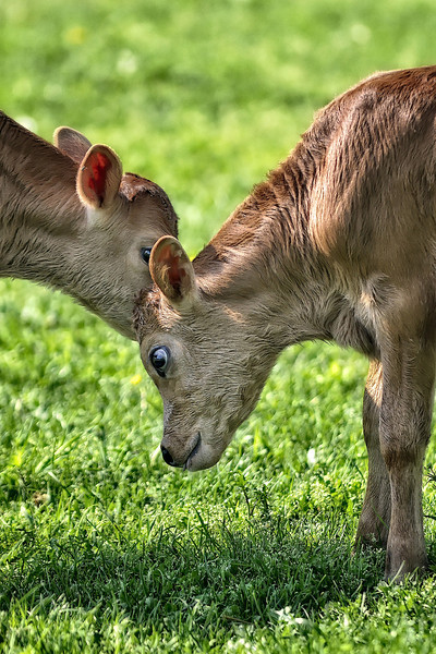 "Two Calves sharing a ""secret"" at Frying Pan Park"
