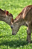 "Two Calves sharing a ""secret"" at Frying Pan Park"