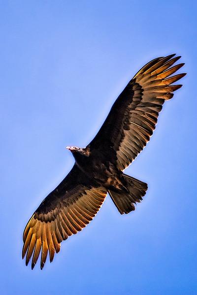 Turkey Vulture, FL