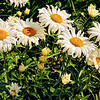 Shasta Daisies in Seattle