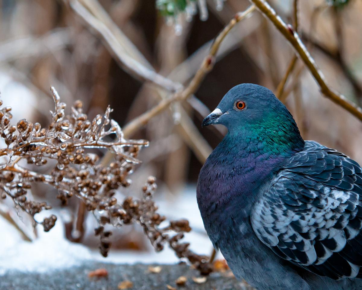 Pigeon (II)
