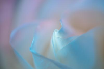 Transcendent Rose 8