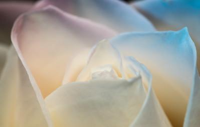 Transcendent Rose 1