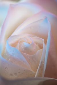 Transcendent Rose 6