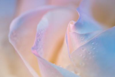 Transcendent Rose 14