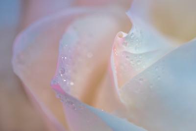 Transcendent Rose 10