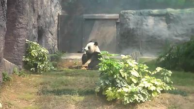 可愛熊貓吃飯