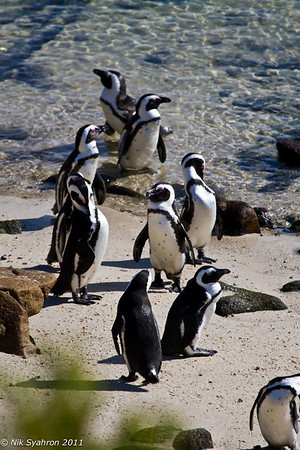 Penguins of Boulder's Beach