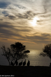 Silhouette of turkeys living on Signal Hill