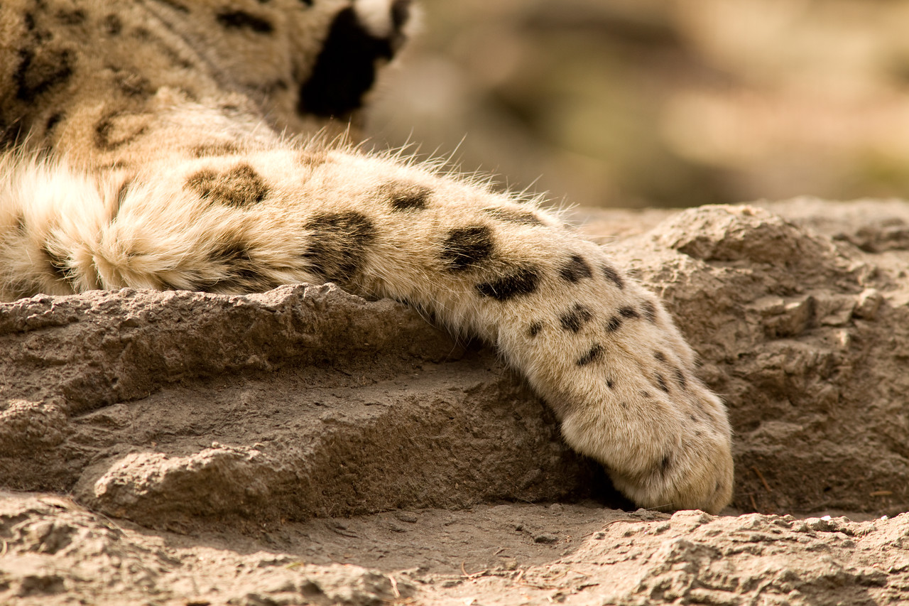 Snow Leopard chillin' in the sun
