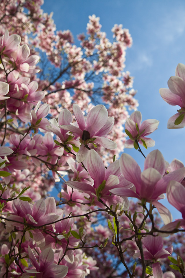 Magnolias at the NY Botanical Gardens  Photographing New York City. http://amzn.to/dfgnyc
