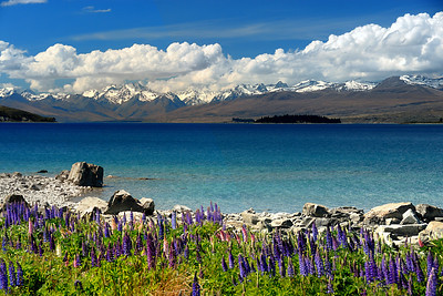 New Zealand Lupines Greet The Spring © 2007 Colleen M. Griffith. All Rights Reserved.  This material may not be published, broadcast, modified, or redistributed in any way without written agreement with the creator.  This image is registered with the US Copyright Office. www.colleenmgriffith.com www.facebook.com/colleen.griffith