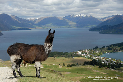 Llama Above Queenstown, New Zealand © 2007 Colleen M. Griffith. All Rights Reserved.  This material may not be published, broadcast, modified, or redistributed in any way without written agreement with the creator.  This image is registered with the US Copyright Office. www.colleenmgriffith.com www.facebook.com/colleen.griffith