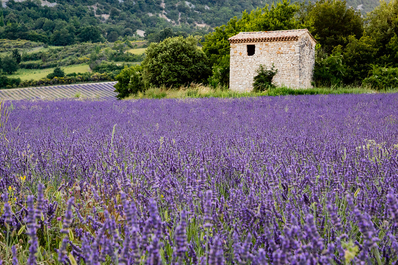 An Old Stone Barn Stands in the Midst of Blooming Lavender Fields in Provence, France, on a Breezy Evening