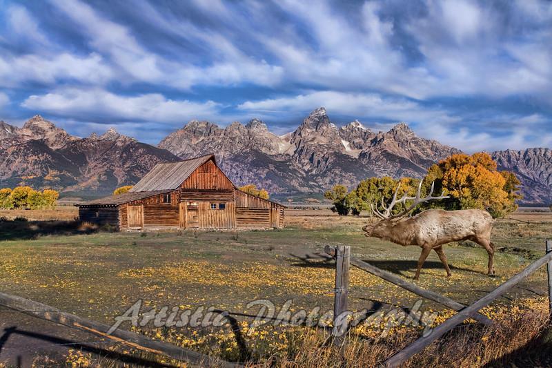 Elk at the Moulton Barn