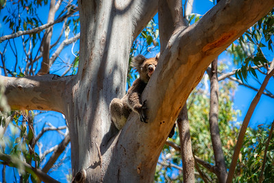 Koala Bear in Tree Looking