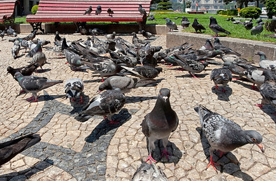 Pigeons in Portugal