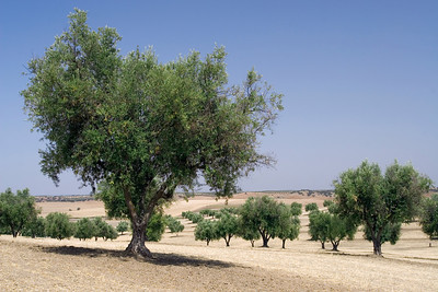 Olive Orchard, Portugal