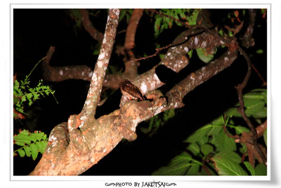 夜觀行程 角鴞大考驗 燈光直射角鴞會造成傷害,所以燈光沒辦法太強,加上距離遠,整個就是相機鏡頭對焦銳利度大考驗