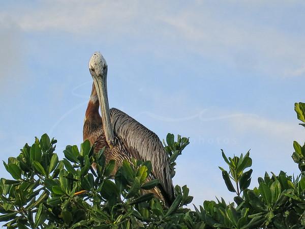 un pélican cherche son perchoir   a pelican seeks its roost