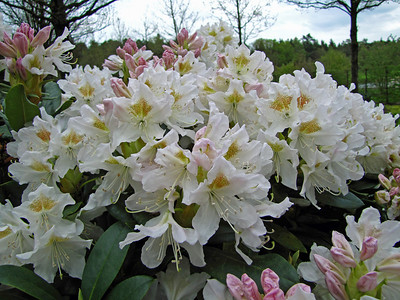 Rhododendron Park (12)