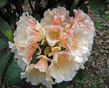 Rhododendron Park (21)