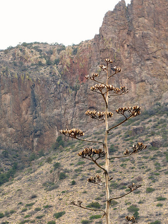 Big Bend National Park, Texas (Agave or Century Plant) (7)