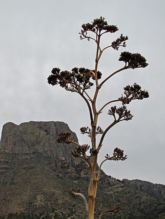 Big Bend National Park, Texas (Agave or Century Plant) (1)