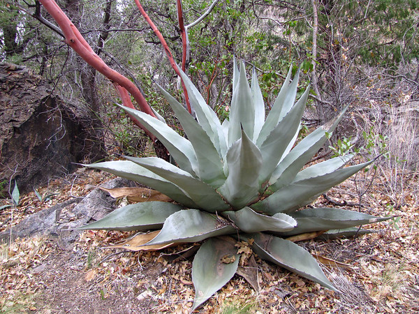 Big Bend National Park, Texas (Agave or Century Plant) (6)
