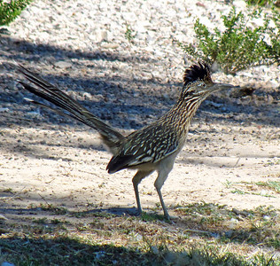 Big Bend National Park, Texas (Road Runner)