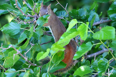 Red (Jimmy) Squirrel