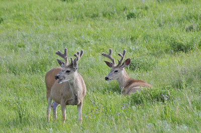 Black -tail Deer