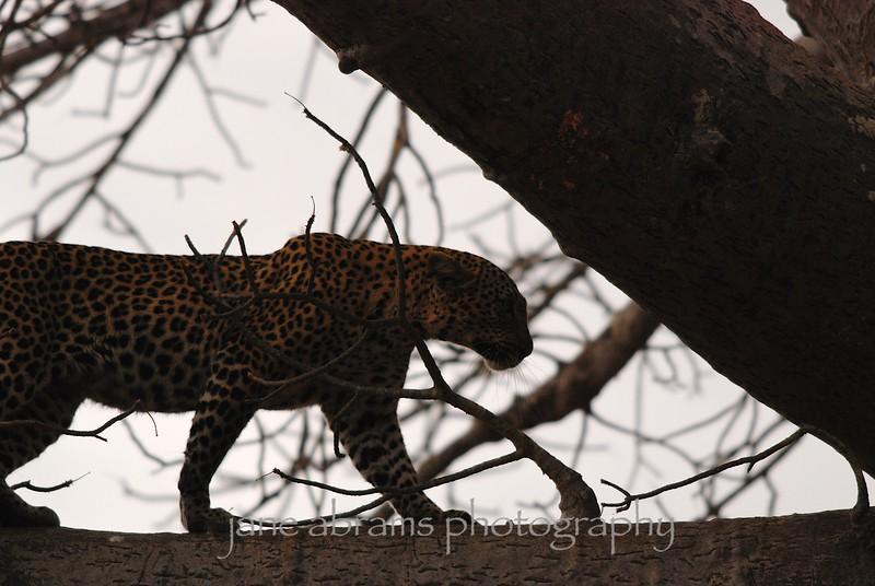leopard's decent